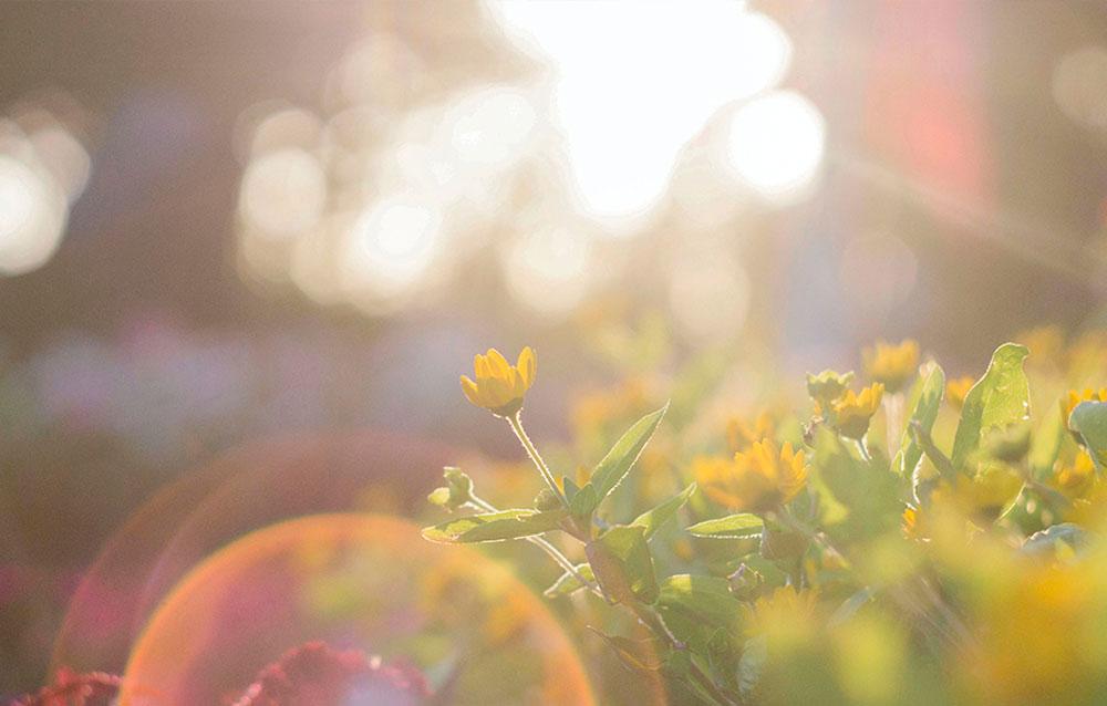Das Bild zeigt ein sonniges Feld mit gelben Blumen. Es steht als Metapher für die Philosophie und die ganzheitliche Medizin der Praxis für Familiengesundheit in Essen. MVZ für Innere Medizin, Endokrinologie, Diabetologie und Kinder- und Jugendpsychiatrie und -psychotherapie - KJP & Hausärzte