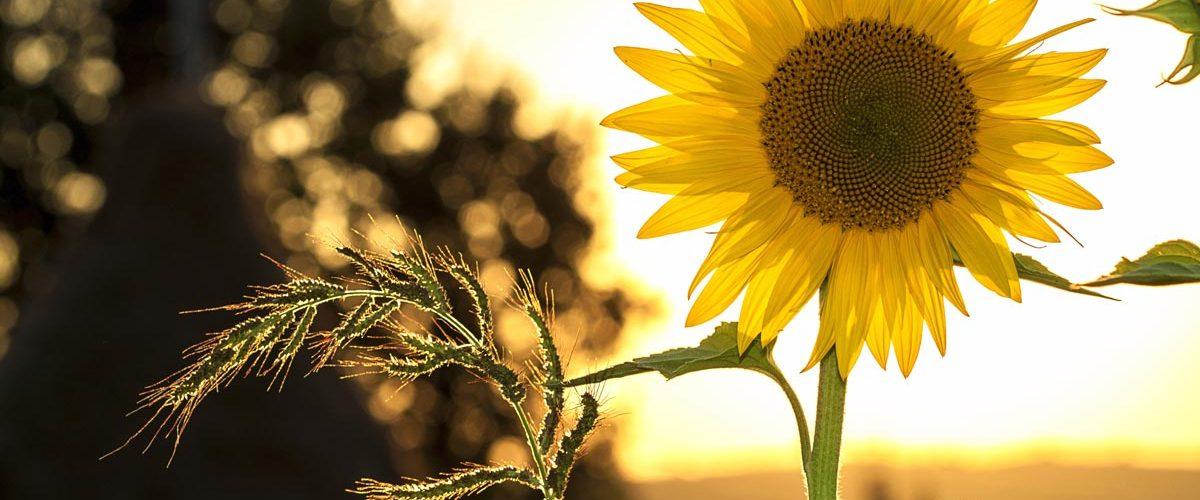 Das Bild zeigt eine Sonneblume. Es steht als Metapher für die Philosophie und die ganzheitliche Medizin der Praxis für Familiengesundheit in Essen. MVZ für Innere Medizin, Endokrinologie, Diabetologie und Kinder- und Jugendpsychiatrie und -psychotherapie - KJP & Hausärzte